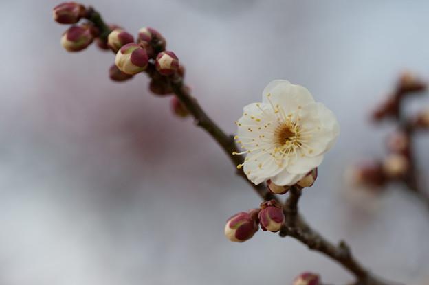 【小田原フラワーガーデン(八重野梅)】2