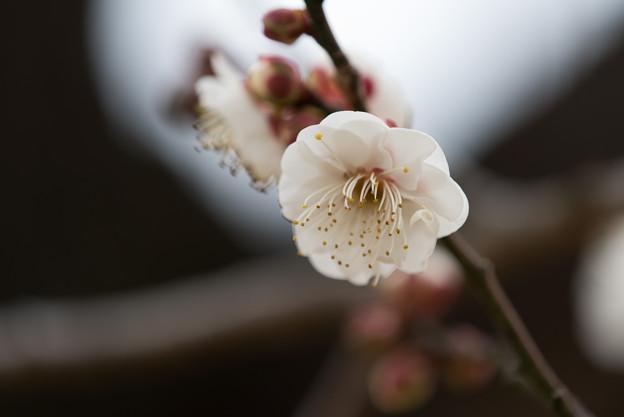 【小田原フラワーガーデン(八重野梅)】3