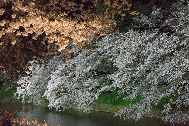 【千鳥ヶ淵の夜桜】3