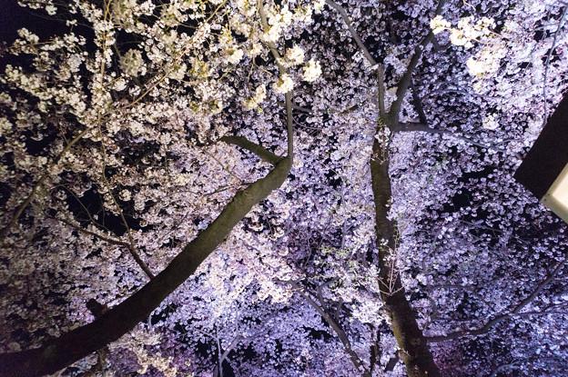 【千鳥ヶ淵の夜桜】5