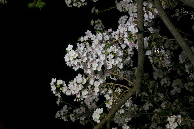 【千鳥ヶ淵の夜桜】6