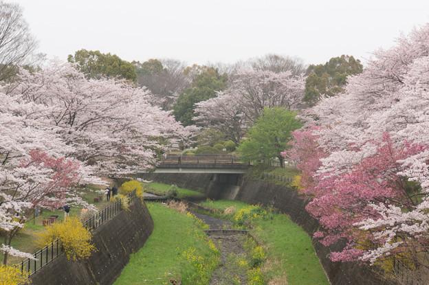 昭和記念公園【さくら橋付近】2