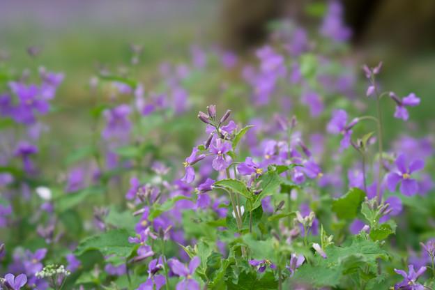 昭和記念公園【桜の園の紫花菜】2