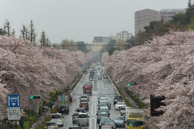【国立の桜並木】2
