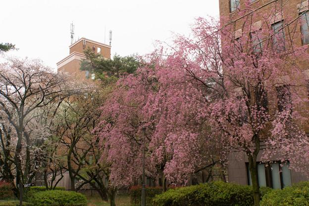 【一橋大学の桜】2