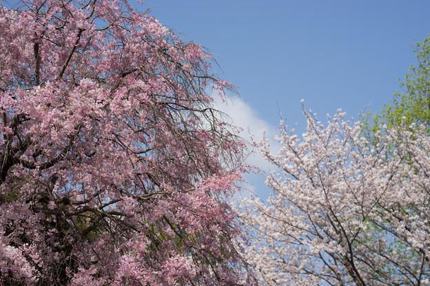 【テリタビーズ公園の枝垂れ桜】1