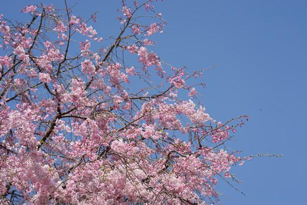 【テリタビーズ公園の枝垂れ桜】3