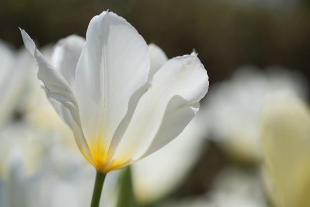 渓流広場【白系のチューリップ】3