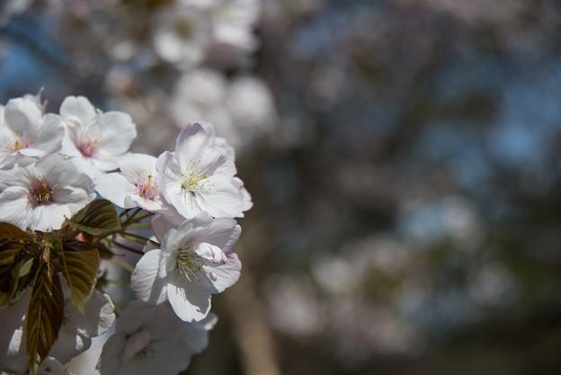 新宿御苑【桜:嵐山】1