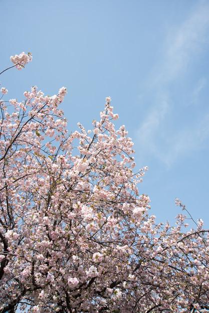 新宿御苑【桜:一葉】2