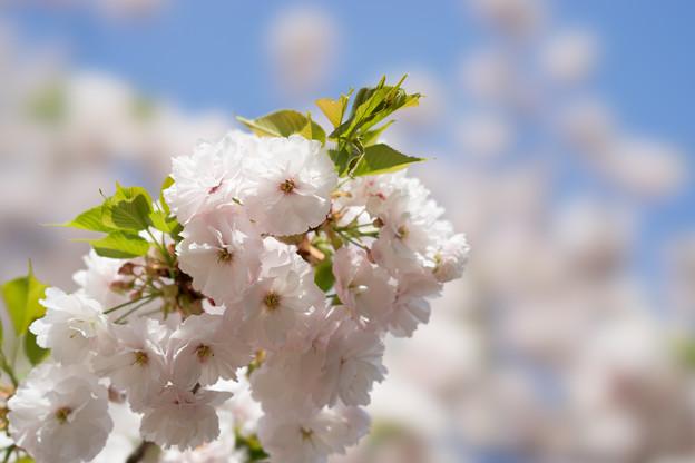 新宿御苑【桜:一葉】5