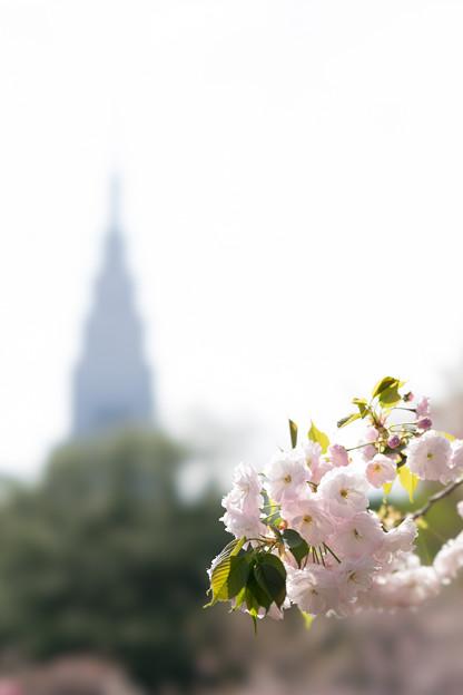 新宿御苑【桜:一葉】7
