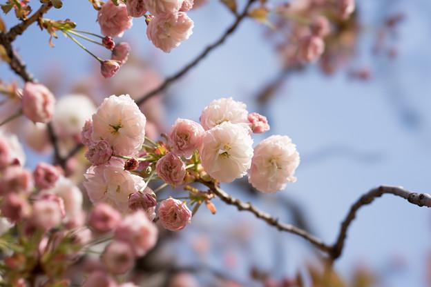 新宿御苑【桜:普賢象】3