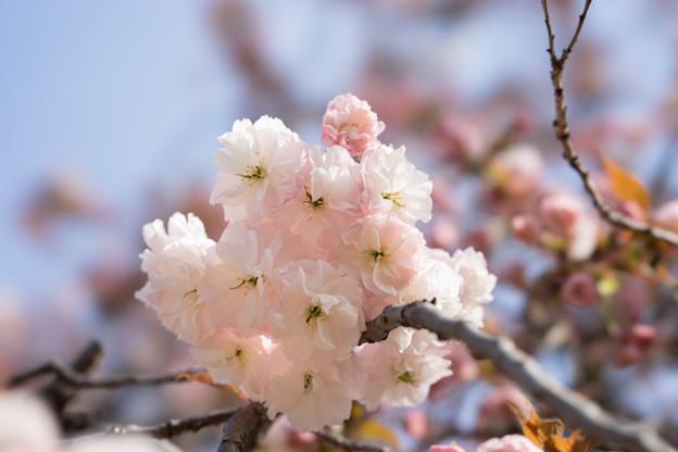 新宿御苑【桜:普賢象】4