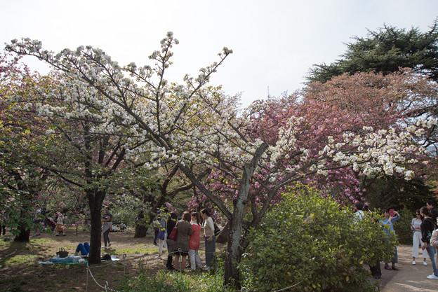 新宿御苑【桜:市原虎の尾】1