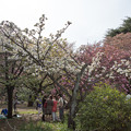 Photos: 新宿御苑【桜:市原虎の尾】1