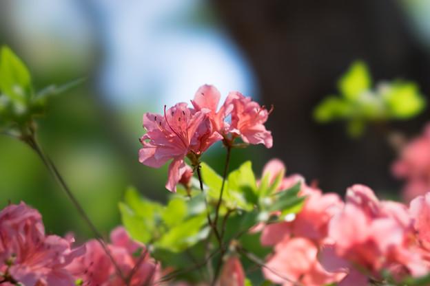 神代植物公園【つつじ園のツツジ】5