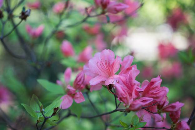 神代植物公園【ヤマツツジ】1