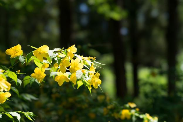 神代植物公園【芍薬:ヤマシャクヤク】3