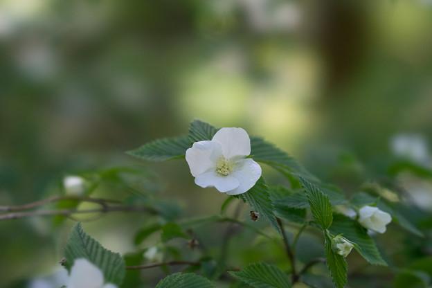 神代植物公園【シロヤマブキ】2