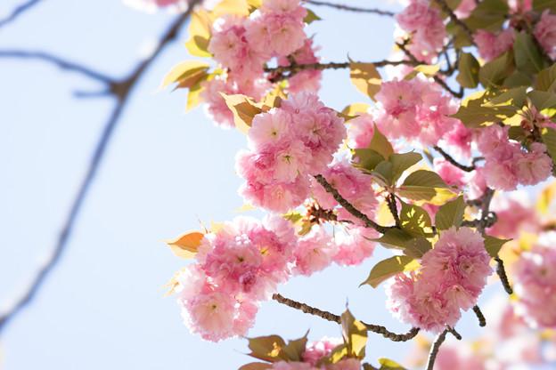神代植物公園【桜:関山】2