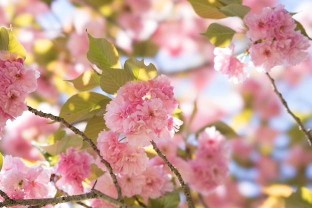 神代植物公園【桜:関山】3