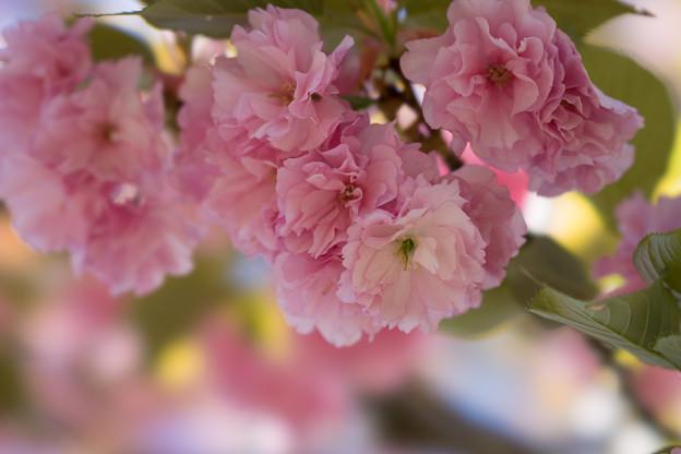 神代植物公園【桜:関山】5