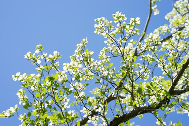 神代植物公園【ハナミズキ】4
