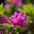 庭の花【ツツジ】3