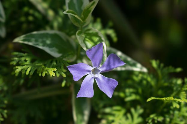 庭の花【ツルニチニチソウ】2