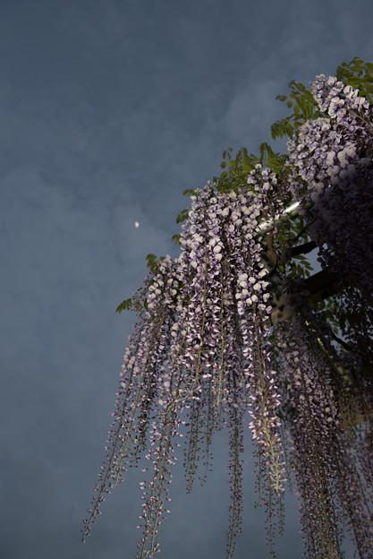 ふじの咲く丘【夜の藤】1