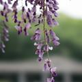 Photos: 神代植物公園【藤の花】3