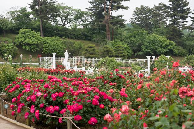 生田緑地ばら苑【ばら苑の眺め】2