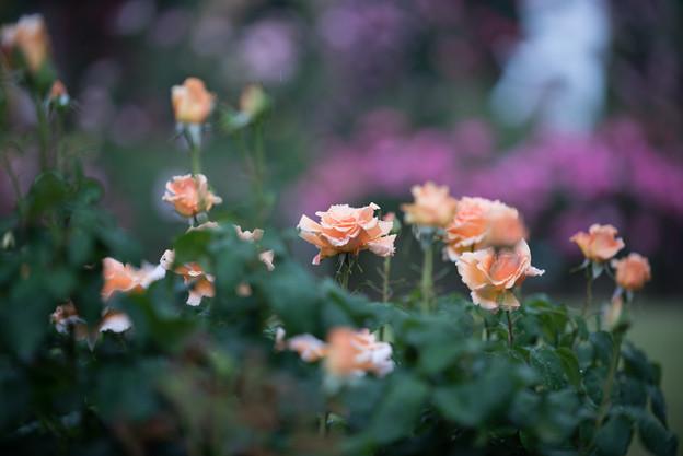 生田緑地ばら苑【薔薇:クローダマグレディ】1