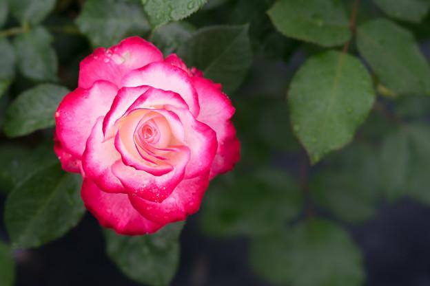 生田緑地ばら苑【薔薇:ジュビレ・デュ・プリンス・ドゥ・モナコ】