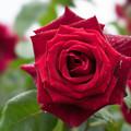 生田緑地ばら苑【薔薇:パパ・メイアン】2