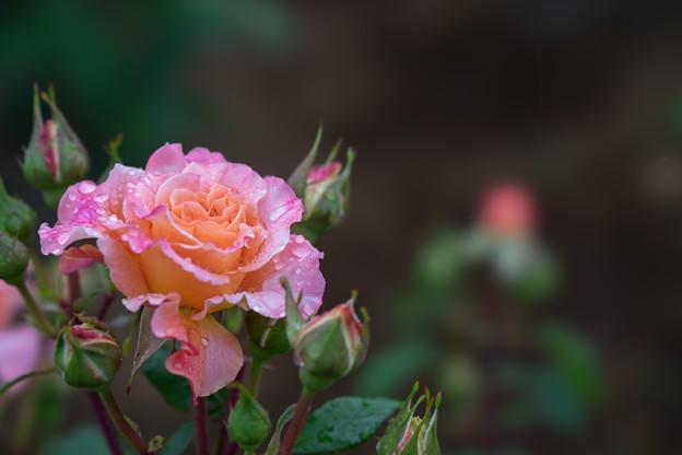 生田緑地ばら苑【薔薇:アウグスタ・ルイーゼ】