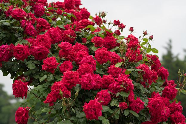 生田緑地ばら苑【薔薇:アンクル・ウォールター】2