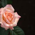 Photos: 花菜ガーデン【薔薇:サマリタン】