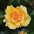 花菜ガーデン【薔薇:アンバークイーン】2