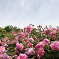 Photos: 花菜ガーデン【薔薇:ロージー・マントル】