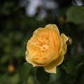 Photos: 花菜ガーデン【薔薇:グラハム・トーマス】