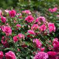 Photos: 花菜ガーデン【薔薇:うらら】