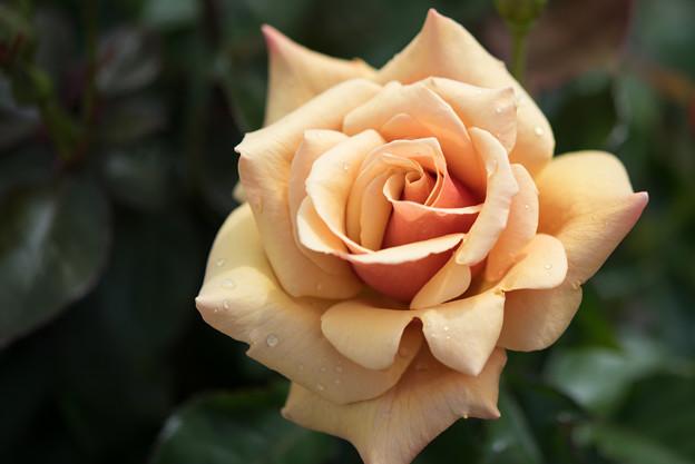 花菜ガーデン【薔薇:センセーション】