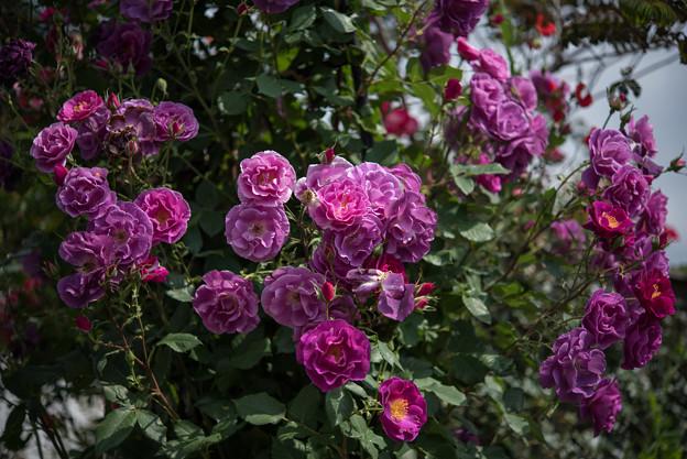 YEG【薔薇:プリンセス・シビル・ドゥ・ルクセンブルグ】1