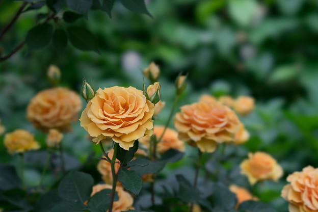 YEG【薔薇:インドラ】1