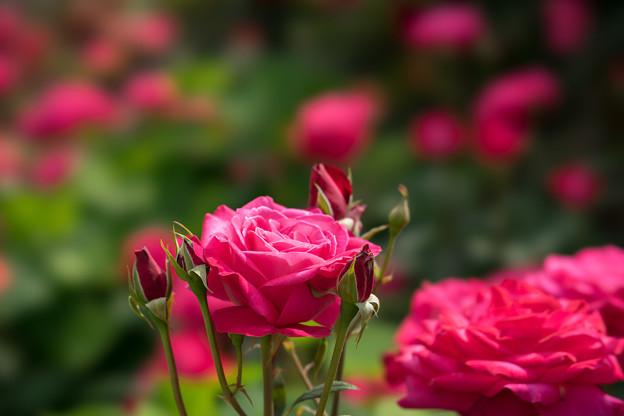 YEG【薔薇:ローザ(名無し)】