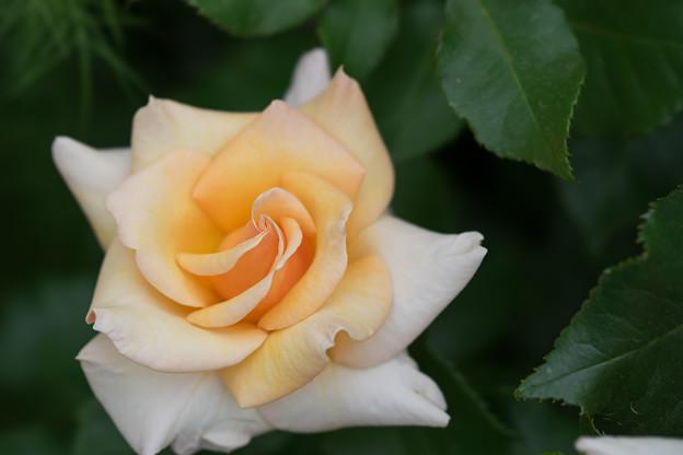 YEG【薔薇:チェッシャー】