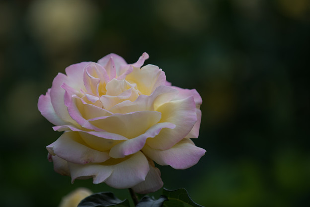 YEG【薔薇:ピース】