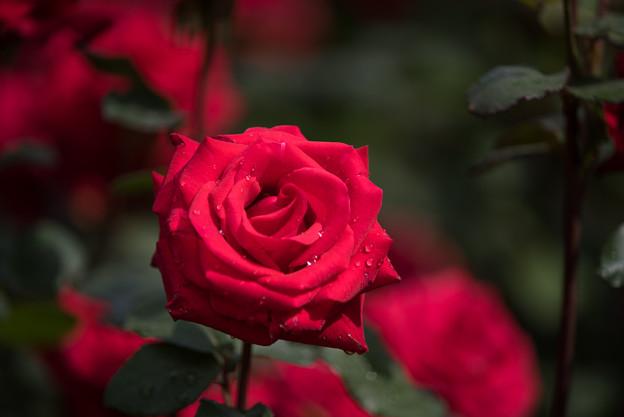 YEG【薔薇:カーディナル】